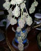 SubCool's The Dank Grape Lime Ricky - ein Foto von Cannabliss239
