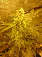 TH Seeds Chocolate Chunk - ein Foto von weedbaron