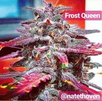 The Bakery Genetics Frost Queen - ein Foto von TheBakeryGenetics
