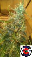 Bild von triceratopsgardens (Sour Blue Cheese)