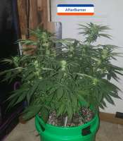 Third Eye Genetics Afterburner - ein Foto von triceratopsgardens