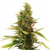 Bruce Banner Cannabissamen bei Cannapot
